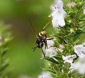 Conops quadrifasciatus female (36731938096).jpg
