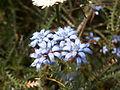 Conospermum caeruleum.JPG