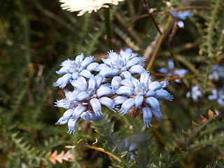 <i>Conospermum caeruleum</i> Species of Australian shrub in the family Proteaceae