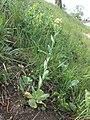 Conringia orientalis sl6.jpg