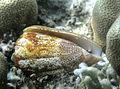 Conus arenatus Réunion.JPG