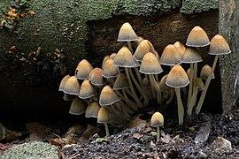Coprinellus micaceus, Mica Inkcap, UK.jpg