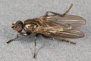 <i>Copromyza nigrina</i> species of insect