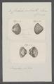 Corbula sulcata - - Print - Iconographia Zoologica - Special Collections University of Amsterdam - UBAINV0274 079 12 0003.tif