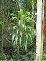 Cordyline petiolaris (tanetahi) 003.jpg