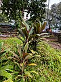Cordyline sp 7.jpg