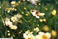 Coreopsis auriculata Snowberry 5zz.jpg