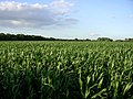 Corn crop west of Lepe Farm, Lepe - geograph.org.uk - 33293.jpg
