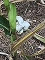 Corn smut on ear of corn-Germany 02.jpg