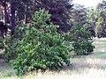 Cornus florida 16zz.jpg
