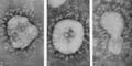 Coronaviruses 229E, B814 and IBV.png