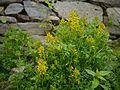 Corydalis meifolia (7855247976).jpg