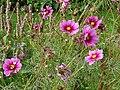 Cosmos bipinnatus (6).jpg