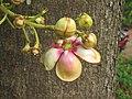Couroupita guianensis - Cannon Ball Tree at Peravoor (74).jpg