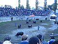 Cowfight4.jpg