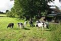 Cows Grazing - Hopton Hall Lane, Upper Hopton - geograph.org.uk - 889681.jpg