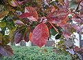 Crataegus-crus-galli-autumn.JPG