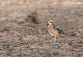 "Cream-coloured Courser (Cursorius cursor), ""El Jable"" Plains, Lanzarote (33879331346).jpg"