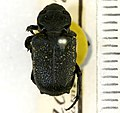 Cremastocheilus armatus Walker, 1866 - 5491504321.jpg