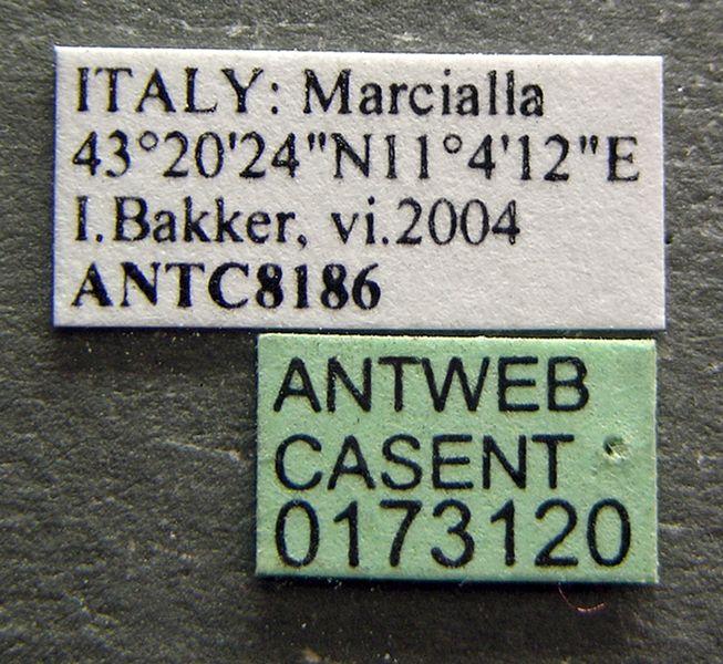 File:Crematogaster scutellaris casent0173120 label 1.jpg