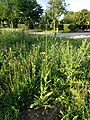 Crepis pulchra sl2.jpg