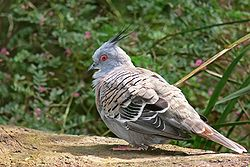 Crested pigeon444.jpg