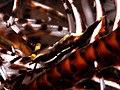 Crinoid Shrimp (Laomenes sp.) (14206778450).jpg