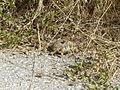 Crnovec - tortoise - P1100460.JPG