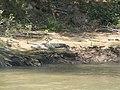 Crocodylus Acutus - Cañón del Sumidero.JPG
