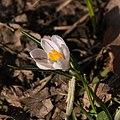 Crocus vernus-Crocus blanc-Pleney-Fleur-20160317.jpg