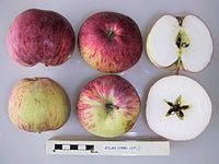 Cross section of Atlas, National Fruit Collection (acc. 1950-127).jpg