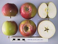 Cross section of Bereczki Mate, National Fruit Collection (acc. 1948-349).jpg