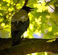 Crow (18547474698).jpg