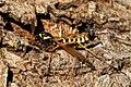 Ctenophora flaveolata male April 2020.jpg