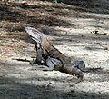 Ctenosaura similis.jpg