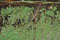 Cuban Trunk Anole (Anolis argenteolus) (8597924482).jpg