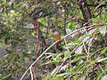 Culicicapa ceylonensis, Grey-headed canary-flycatcher at Mannavan Shola, Anamudi Shola National Park, Kerala (2).jpg