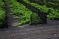 Cultivos en Mancha Blanca, Lanzarote.jpg