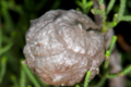 Cupressus forbesii seed pod.png