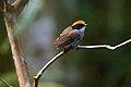 Cuspidor-de-máscara-preta (Conopophaga melanops) - Black-cheeked Gnateater.jpg