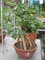 Cussonia spicata2.jpg