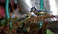 Cyanistes caeruleus -Norfolk, England -adult and chicks-8 (1).jpg