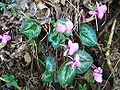 Cyclamen parviflorum-2.JPG