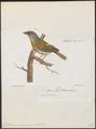 Cyclarhis guianensis - 1796-1808 - Print - Iconographia Zoologica - Special Collections University of Amsterdam - UBA01 IZ16600279.tif