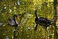 Cygnus atratus -Cismigiu Gardens, Bucharest, Romania -two swimming-8a.jpg