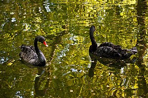 Cygnus atratus -Cismigiu Gardens, Bucharest, Romania -two swimming-8a