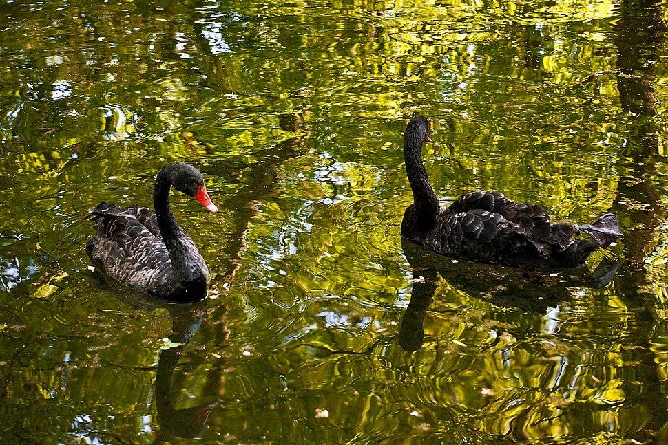 Cygnus atratus -Cismigiu Gardens, Bucharest, Romania -two swimming-8a
