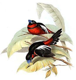 Cymbirhynchus macrorhynchus.jpg