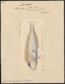 Cymolutes leclusii - 1824-1839 - Print - Iconographia Zoologica - Special Collections University of Amsterdam - UBA01 IZ13900165.tif