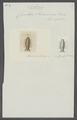 Cymothoa swainsonii - - Print - Iconographia Zoologica - Special Collections University of Amsterdam - UBAINV0274 098 11 0012.tif